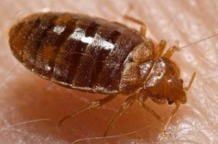 Bed_bug-2014-03-21a